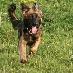A dog running across a field
