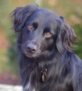 Image of crossbreed dog.