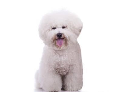 Bichon Frise | Dog Breed Health
