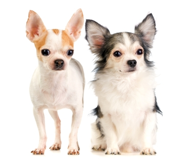Chihuahua (Long and Short Coat) | Dog Breed Health