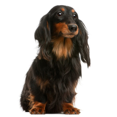 dachshund standard smooth long wire haired dog breed health