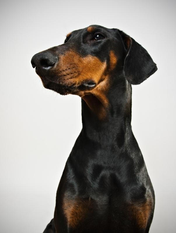 Dobermann (Doberman pinscher) | Dog Breed Health