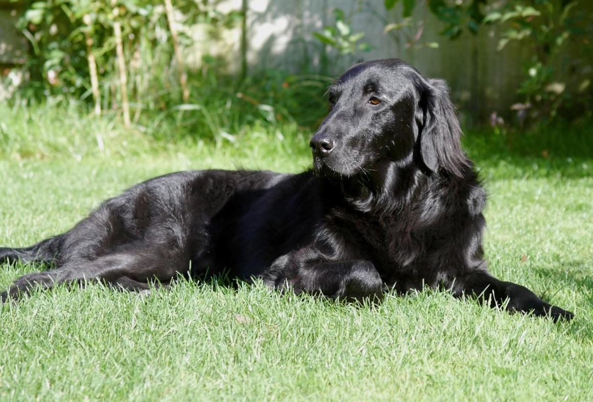 Flatcoated Retriever | Dog Breed Health