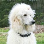 Poodle (Large)