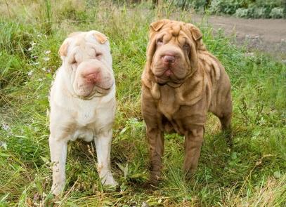 Shar Pei Dog Breed Health