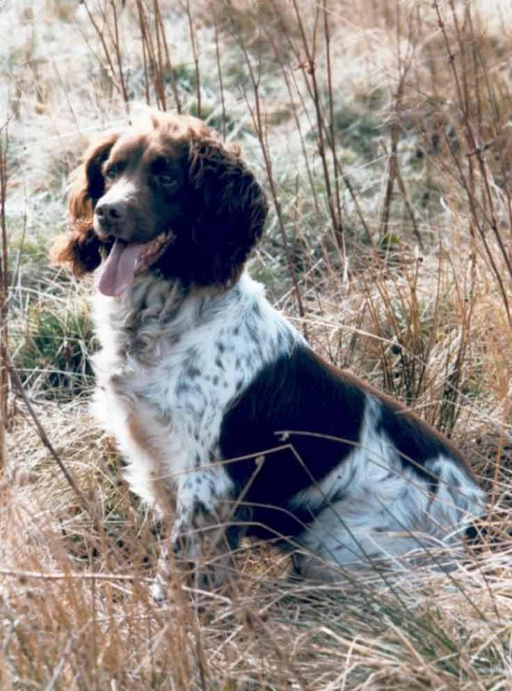 English Springer Spaniel | Dog Breed Health