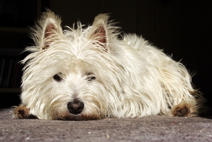 West Highland White Terrier | Dog Breed Health