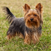 Yorkshire Terrier Dog Breed Health