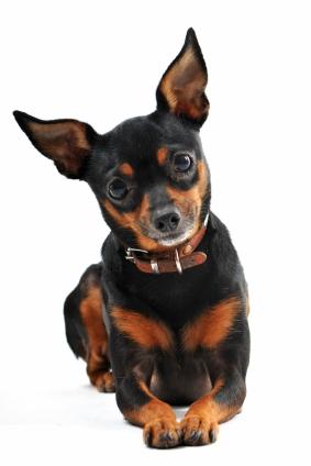 Miniature pinscher dog breed health for Pinscher temperamento