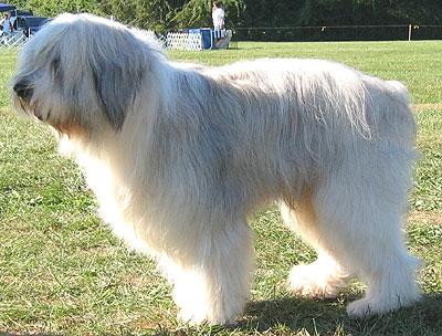 Polish Lowland Sheepdog – Dog Breed Health