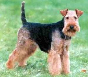 Price Of Welsh Terrier Welsh Terrier