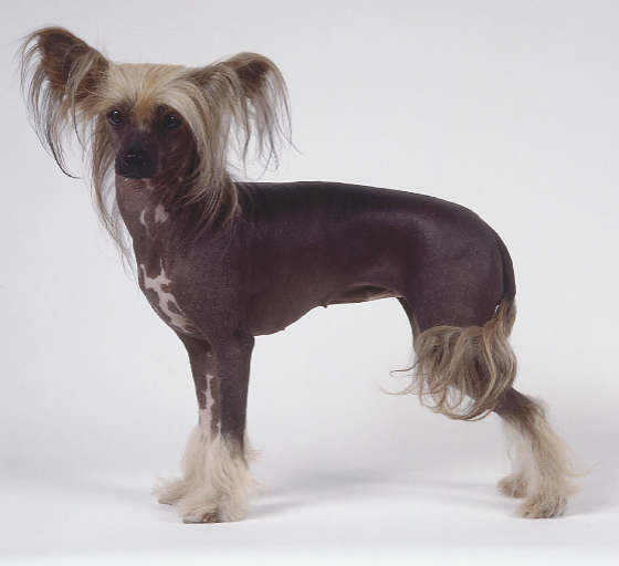 chinese-crested.jpg