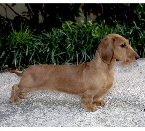 Dachshund Miniature Long Smooth