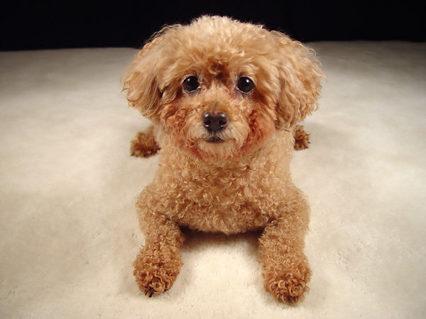 Miniature Poodle | Dog Breed Health