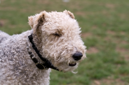 Fox Terrier (Smooth-haired and Wire-haired) | Dog Breed Health