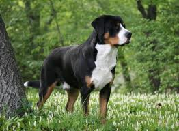 Greater Swiss Mountain Dog Dog Breed Health