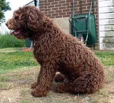 Spanish Water Dog Dog Breed Health