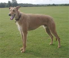 Lurcher Dog Breed Health