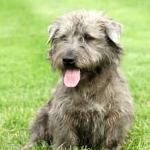 Irish Glen of Imaal Terrier in the garden