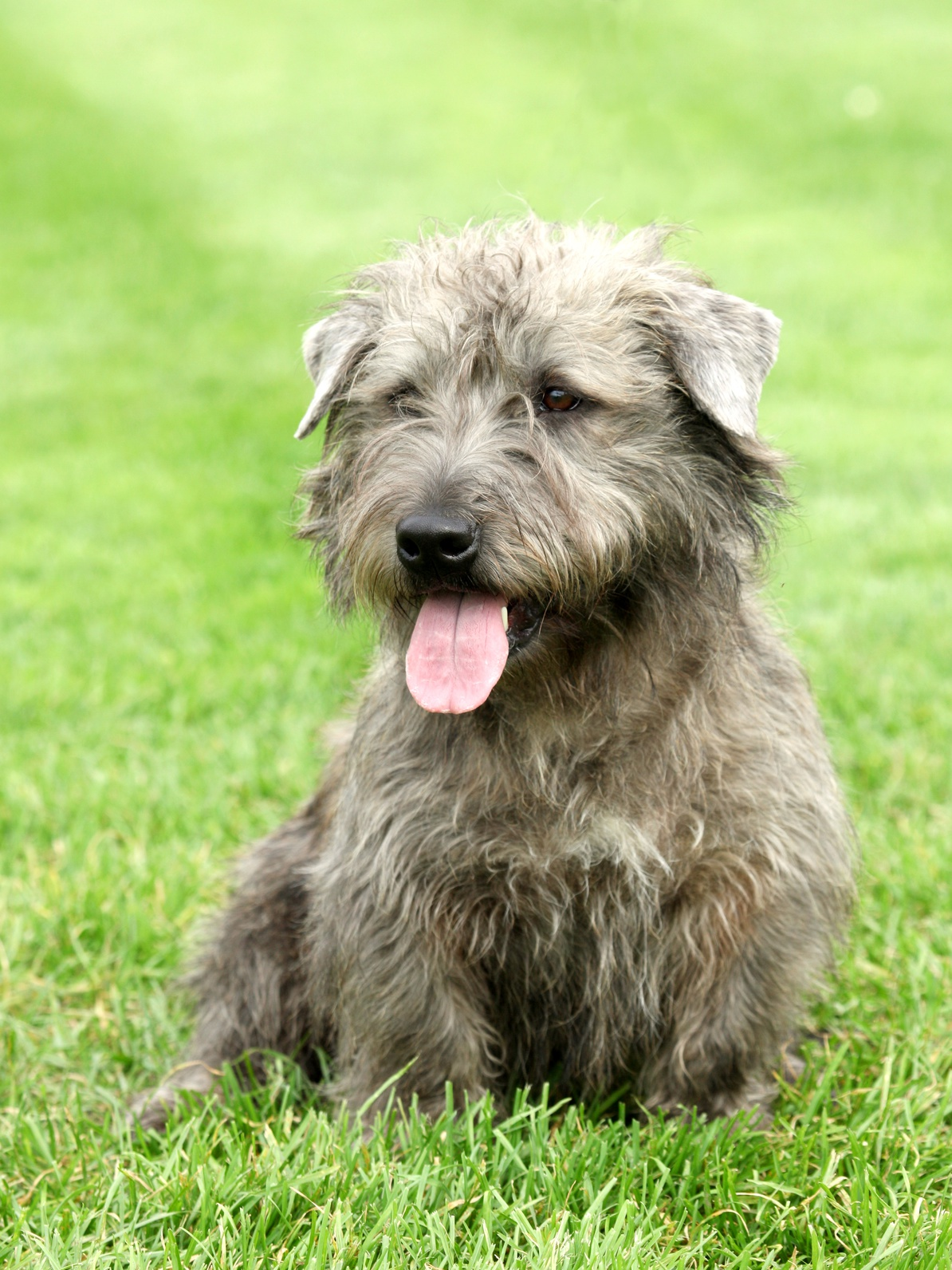 Glen of Imaal Terrier | Dog Breed Health - photo#13